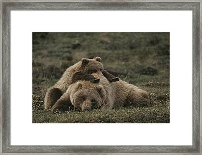 A Grizzly Mother And Her Cub Lounge Framed Print