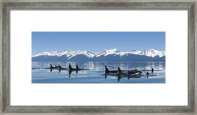 A Group Of Orca  Killer  Whales Come Framed Print