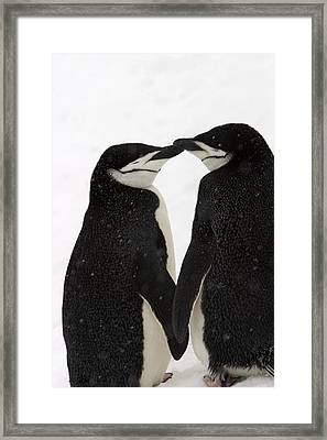A Pair Of Chinstrap Penguins Framed Print