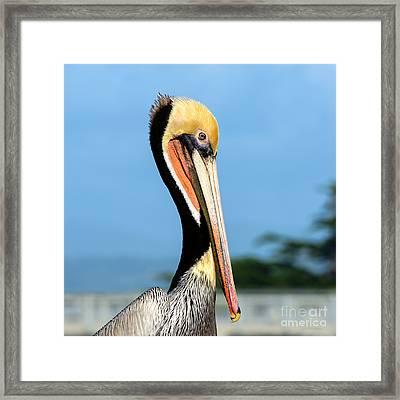 A Pelican Posing Framed Print by Susan Wiedmann