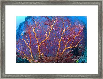 A Red Sea Fan With Purple Anthias Fish Framed Print by Steve Jones