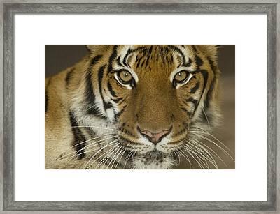 A Siberian Tiger Panthera Tigris Framed Print by Joel Sartore
