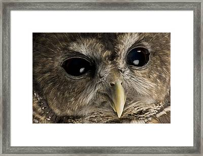 A Threatened Northern Spotted Owl Framed Print by Joel Sartore