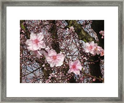 A Touch Of Pink 3 Framed Print by Susanne Awbrey