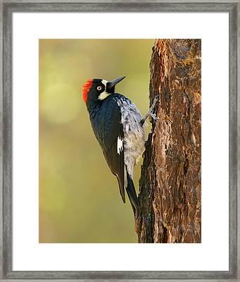 Acorn Woodpecker Framed Print by Doug Herr
