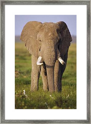 African Elephant Loxodonta Africana Framed Print by Gerry Ellis
