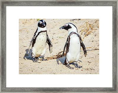 African Penguins Framed Print by Alexey Stiop