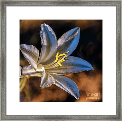 Ajo Lily Framed Print by Robert Bales