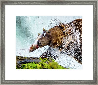 Framed Print featuring the photograph Alaska Brown Bear by Norman Hall