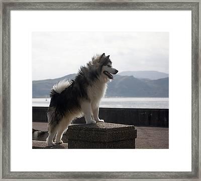 Alaskan Malamute.  Framed Print by Christopher Rowlands