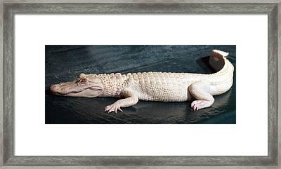 Albino Alligator Framed Print