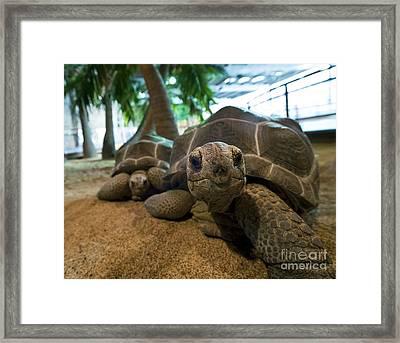 Aldabra Giant Tortoises Framed Print by Alexis Rosenfeld