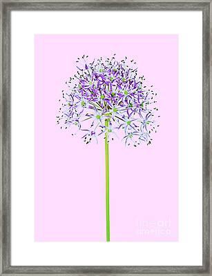 Allium Framed Print by Tony Cordoza