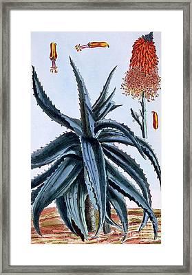 Aloe Framed Print by Pierre-Joseph Buchoz