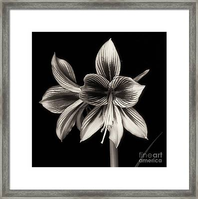 Amaryllis 'papilio Improved' Framed Print