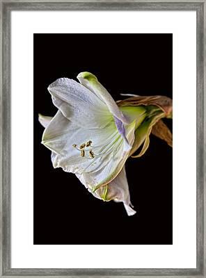 Amaryllis Framed Print by Robert Ullmann
