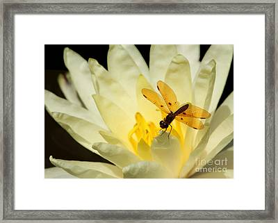 Amber Dragonfly Dancer 2 Framed Print by Sabrina L Ryan