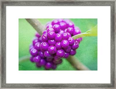 American Beautyberry Framed Print by Jon Woodhams