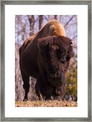 American Bison Framed Print by Chris Flees