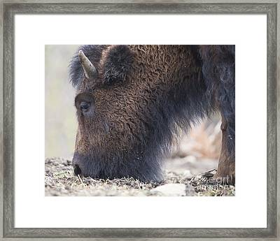 American Bison Framed Print by Twenty Two North Photography