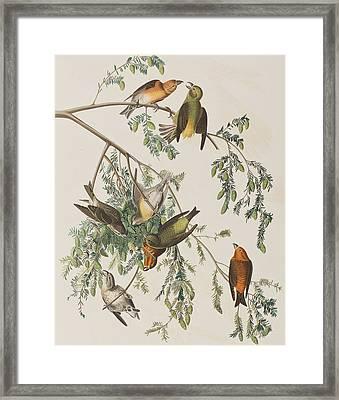 American Crossbill Framed Print by John James Audubon