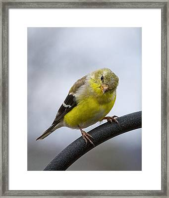 American Goldfinch Framed Print by Brian Caldwell