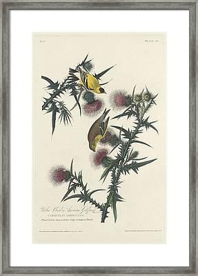 American Goldfinch Framed Print by Anton Oreshkin
