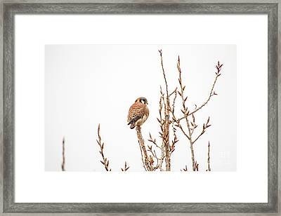 Framed Print featuring the photograph American Kestrel by Spencer Baugh