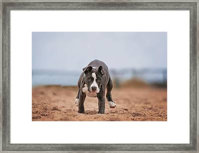 Framed Print featuring the photograph American Pitbull  by Peter Lakomy