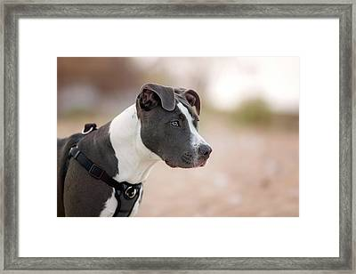 Framed Print featuring the photograph American Pitbull Terrier by Peter Lakomy