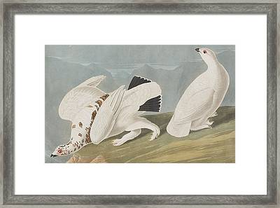 American Ptarmigan Framed Print by John James Audubon