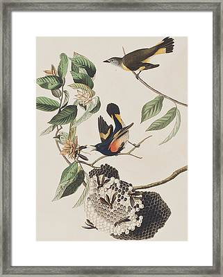 American Redstart  Framed Print by John James Audubon