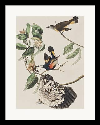 American Redstarts Framed Prints