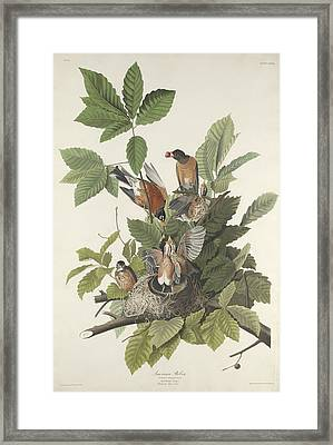 American Robin Framed Print by Dreyer Wildlife Print Collections