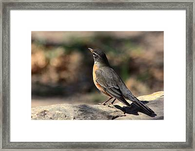 American Robin On Rock Framed Print