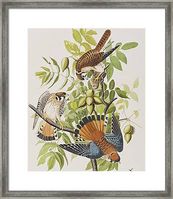 American Sparrow Hawk Framed Print by John James Audubon
