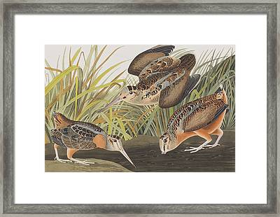 American Woodcock Framed Print by John James Audubon