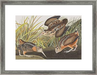 American Woodcock Framed Print