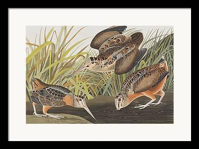 Woodcock Framed Prints