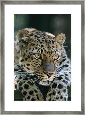 Amur Leopard #2 Framed Print