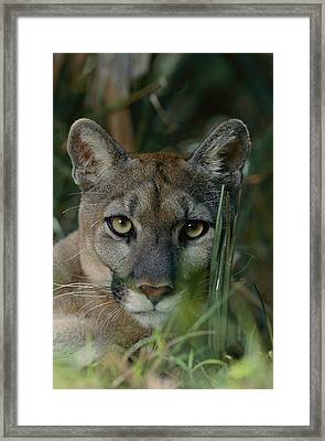 An Alleged Florida Panther. Owner Frank Framed Print