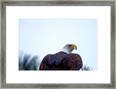 An Eagle Stretching Its Wings Framed Print by Jeff Swan