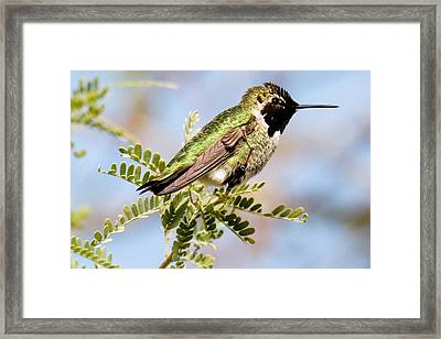 Anna's Hummingbird Framed Print by Michael Barry