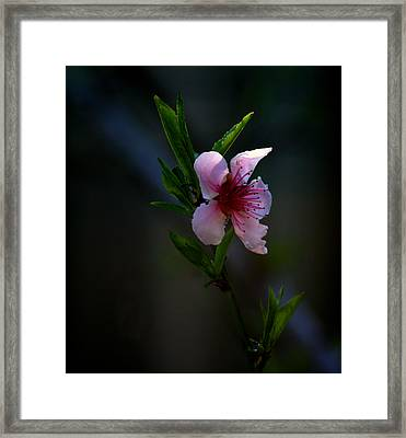 Apple Blossom Framed Print by Martin Morehead