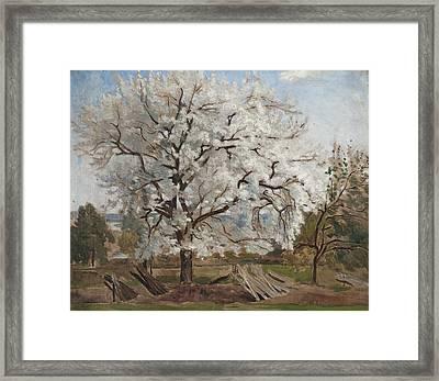 Apple Tree In Blossom Framed Print by Carl Fredrik Hill