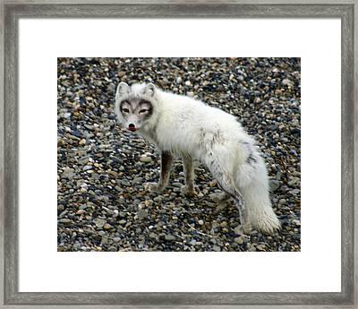 Arctic Fox Framed Print by Anthony Jones