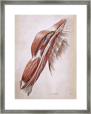 Arm Nerves Framed Print by Sheila Terry