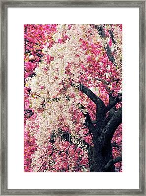 Asian Cherry Vignette Framed Print by Jessica Jenney