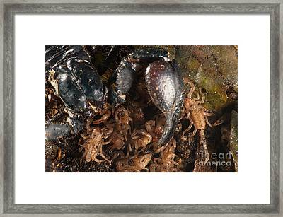 Asian Scorpion With Young Framed Print by Francesco Tomasinelli