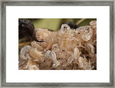 Asian Scorpion Young Framed Print